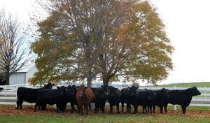 Grass Fed Shipshewana Beef Cattle