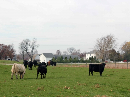 Beef cattle grazing at Shisphewana Auction